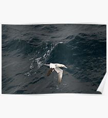 Gannet on The Bay of Biscay Poster