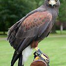 Peregrine Falcon by David Workman