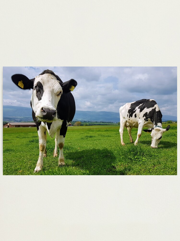 Alternate view of Cows Photographic Print