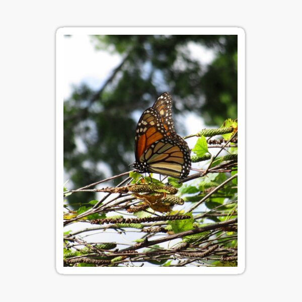 Monarch butterfly before flying in search of sun By Yannis Lobaina Sticker