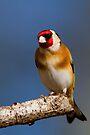 Goldfinch by Neil Bygrave (NATURELENS)