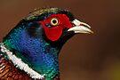 Male Pheasant by Neil Bygrave (NATURELENS)