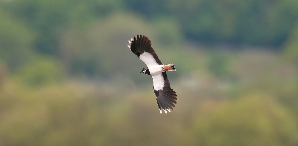 Lapwing by Tim Collier