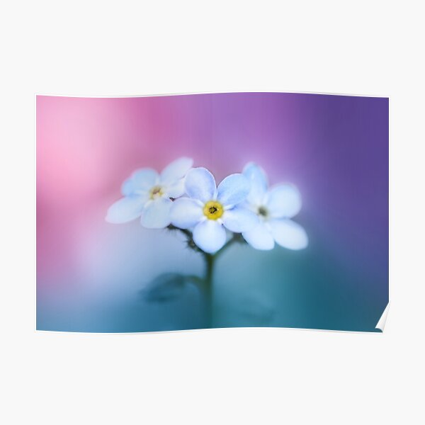 Colorful and dreamy Forget-me-Not flowers macro Poster