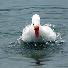 Fastidious Duck by SuddenJim