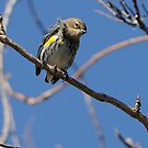 Yellow Rumped Warbler by J Jennelle