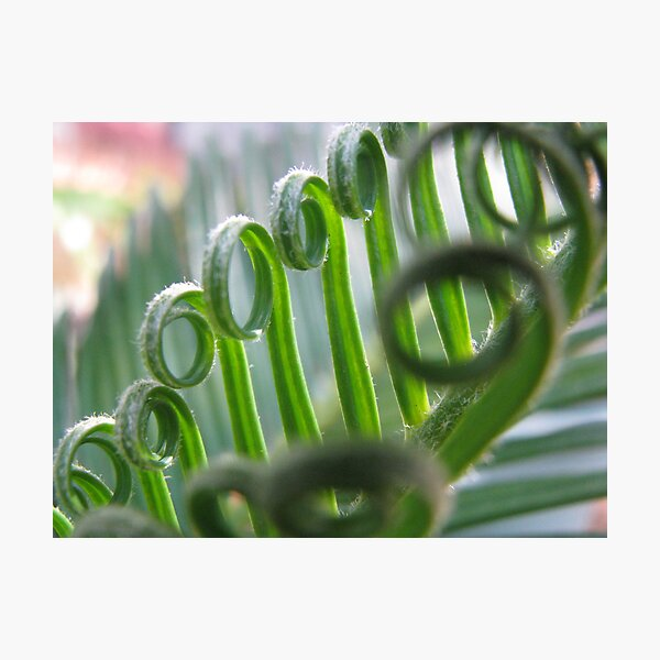 unfurling cycad Photographic Print