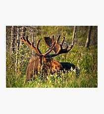 Moose In Meadow Photographic Print