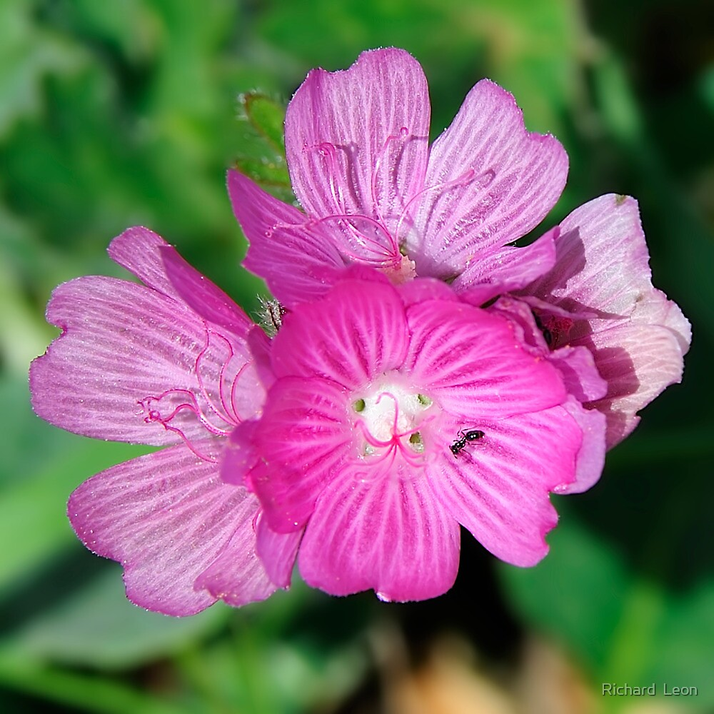 California Wildflowers • Marin Headlands  •  Series by Richard  Leon