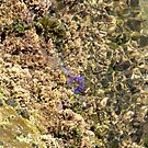 Ocean Flora - La Perouse by Tina Wright