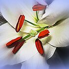 White  Oriental Lily  by EdsMum
