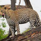 Fat cat - Okavango Delta by Sharon Bishop
