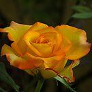 Peace Rose by Ahiraj Bhat