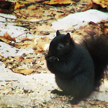 Black Squirrel by OutdoorAddix