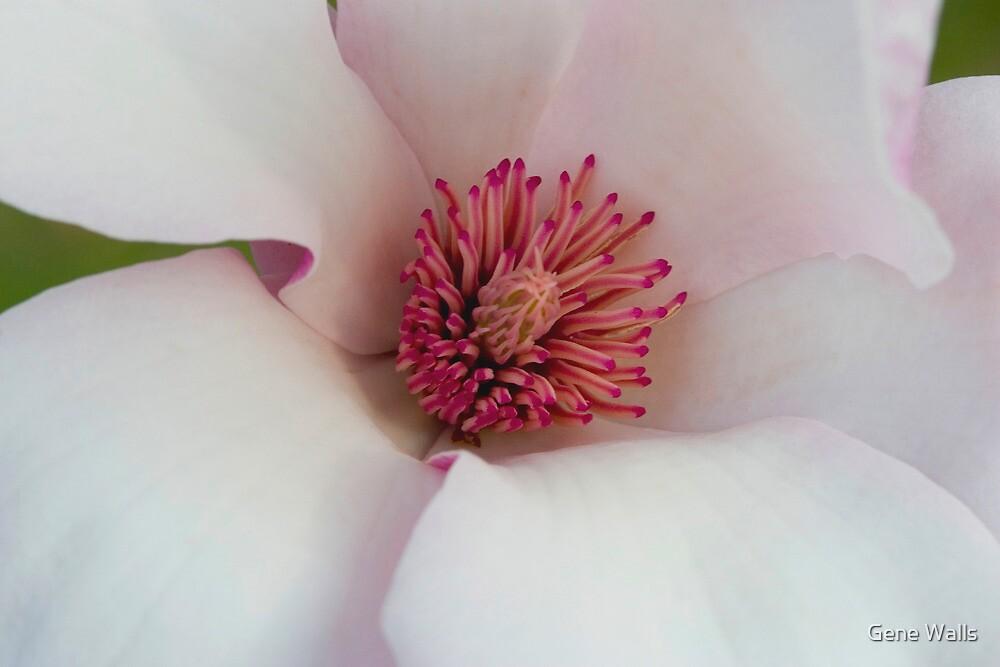 Magnolia's New Carpels by Gene Walls