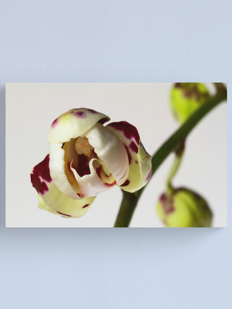 Alternate view of Phalaenopsis Opening Canvas Print