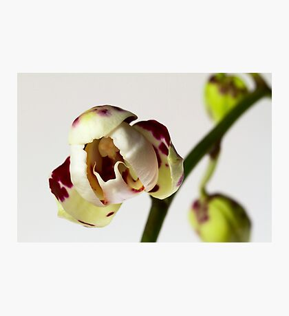 Phalaenopsis Opening Photographic Print