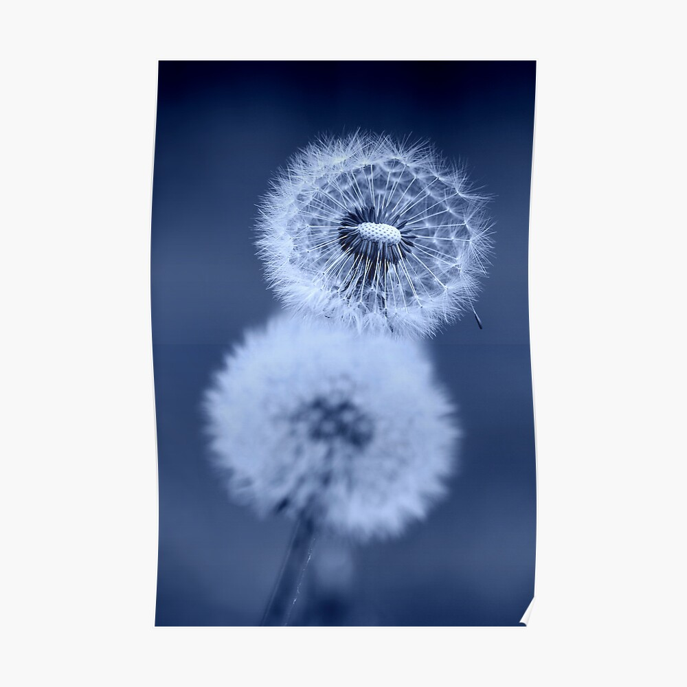 Dandelion Clocks in Blue Poster