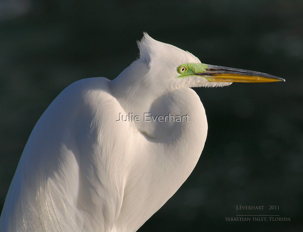 Great White Egret  by Julie Everhart
