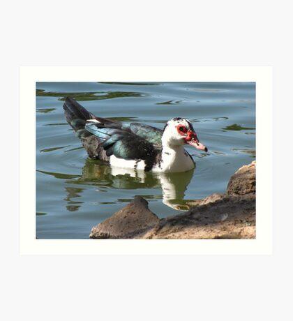 Muscovy Duck ~ Feral (Female) Art Print