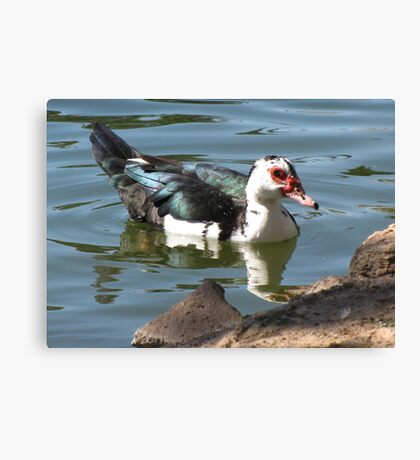 Muscovy Duck ~ Feral (Female) Canvas Print