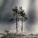 12.9.2015: Pine Trees, Autumn Morning II by Petri Volanen