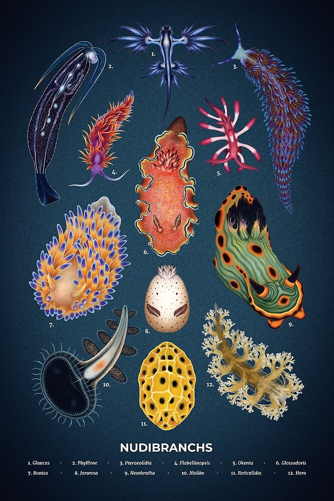 Nudibranchs Plate by Franz Anthony