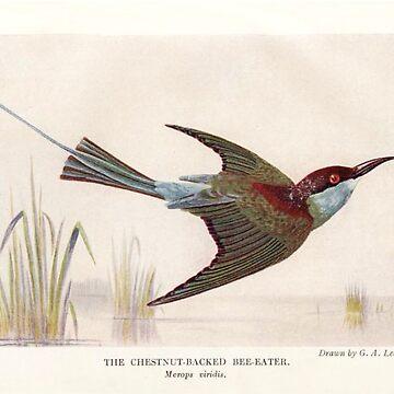 Chestnut backed Bee-eater by neonxiomai