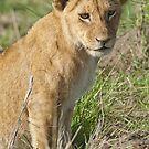 Lion cub portrait by Yves Roumazeilles