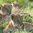 Two attentive lion cubs by Yves Roumazeilles