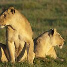Two young lions (where is that gazelle?) by Yves Roumazeilles