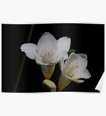 White flower 4550 Poster