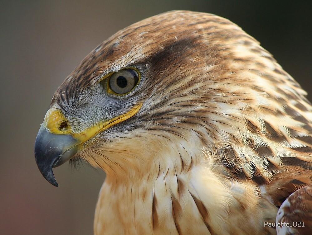 Ferruginous Hawk Up Close by Paulette1021