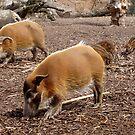 Visayan Warty Pigs by AnnDixon