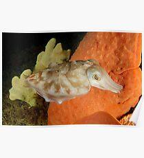 Reaper Cuttlefish - Sepia mestus Poster