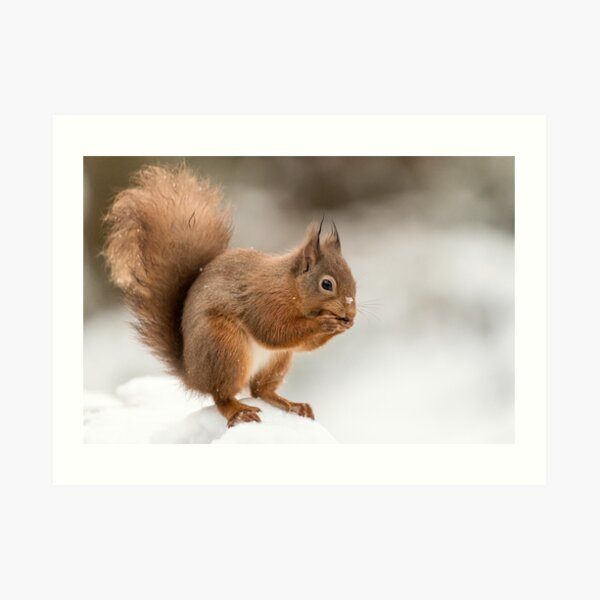Red squirrel in the snow at Christmas  Art Print