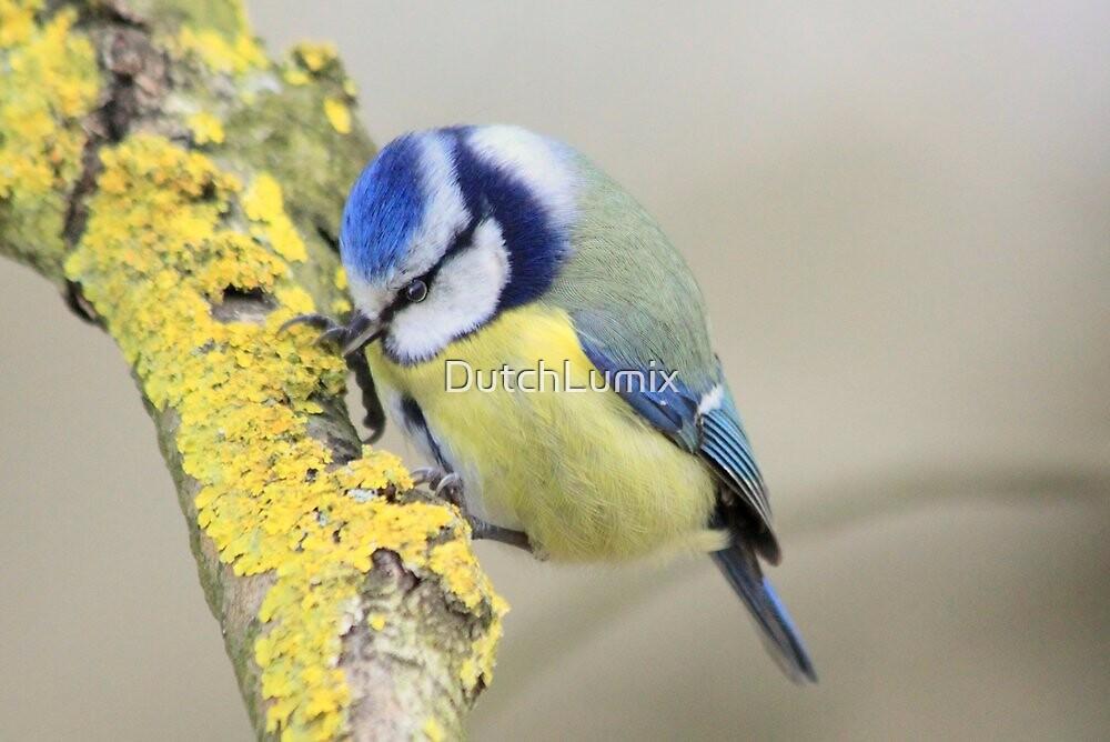 The Blue Tit (Cyanistes caeruleus) by DutchLumix