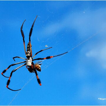 GOLDEN ORB-WEB SPIDERS - _Family tetragnathidae_ by mags