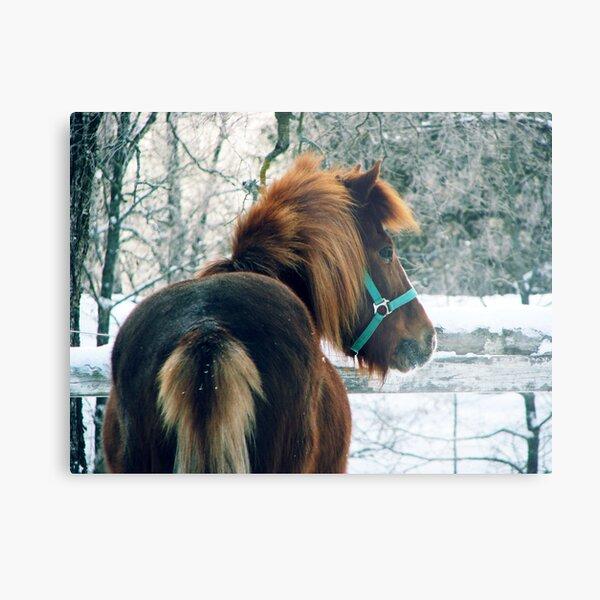 23.2.2011: Icelandic Horse Metal Print