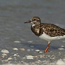 The little Ruddy Turnstone by Kathy Cline