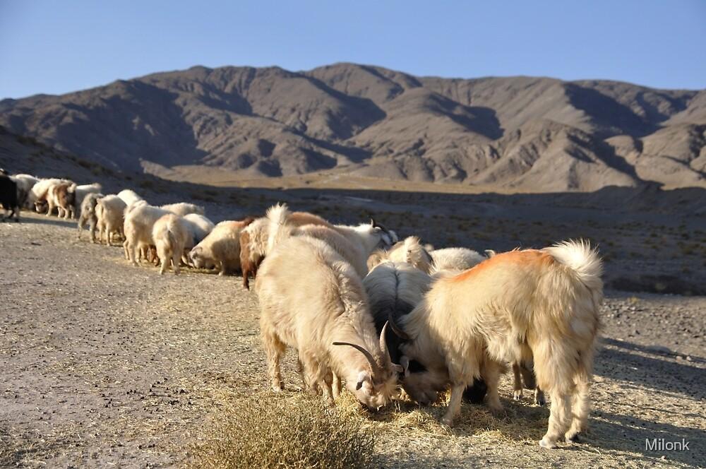 Grazing sheeps by Milonk
