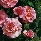 Roses after rain. by lenslife