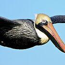 Pelican In Flight by J Jennelle