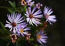 Pacific Asters by EchoNorth