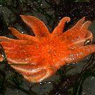 Starfish by AnnDixon