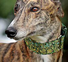 Handsome Harry Hound by GreyhoundSN