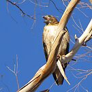 Red-tailed Hawk ~ Protective Female by Kimberly Chadwick