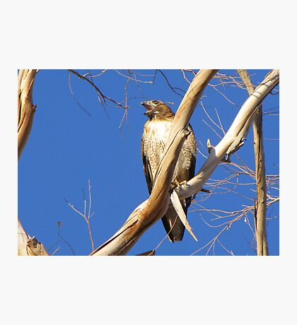 Red-tailed Hawk ~ Protective Female Photographic Print
