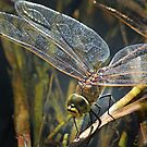 Dragonfly In The Light by Lance Leopold