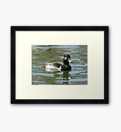 Ring-necked Duck ~ Male Framed Print